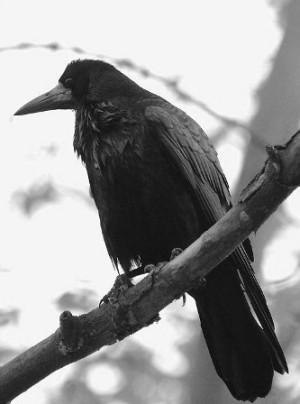 Голоса Птиц Грач