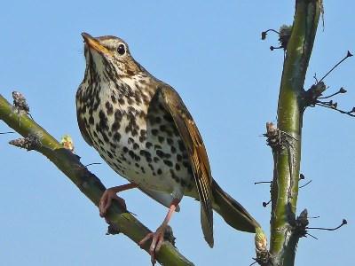 голоса птиц кукушка слушать